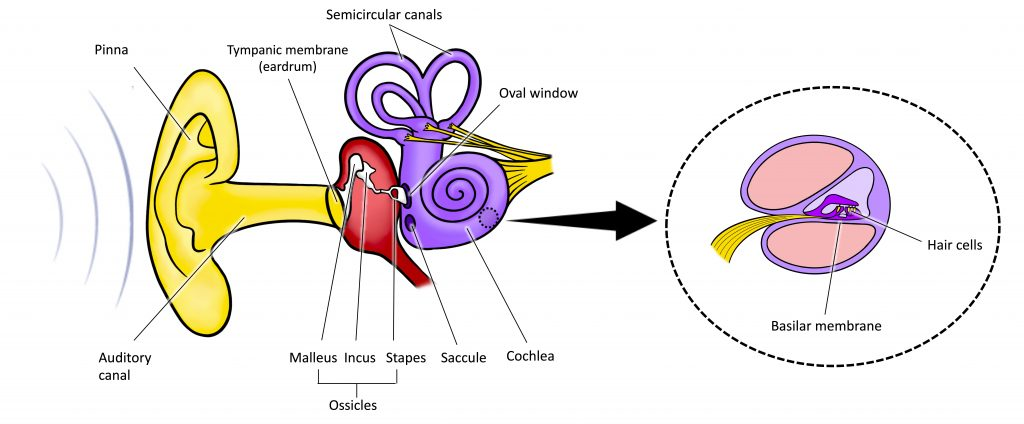 "An illustration shows sound waves entering the ""auditory canal"" and traveling to the inner ear. The locations of the ""pinna,"" ""tympanic membrane (eardrum)"" are labeled, as well as parts of the inner ear: the ""ossicles"" and its subparts, the ""malleus,"" ""incus,"" and ""stapes."" A close-up illustration of the inner ear that shows the locations of the ""semicircular canals,"" ""oval window,"" ""saccule,"" and ""cochlea"". A callout window shows the ""basilar membrane"" and ""hair cells."""