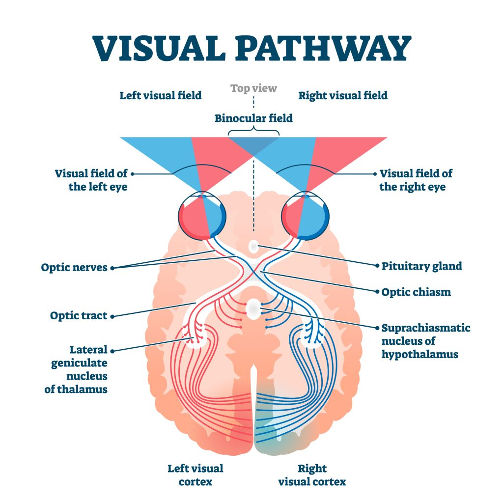 A drawing demonstrating the visual pathway. A horizontal top view of the brain shows the two eyes at the front. Visual field of the left eye sends visual sensations to the right visual cortex through optic nerves and the optic tract. Similarly the right visual field sends information to the left visual cortex. Binocular field information of the left and right eye is sent to the left and right visual cortices respectively. The optic tract connects to the lateral geniculate nucleus of the thalamus. The pituitary gland is labeled and appears at a point centrally behind the two eyes. The optic nerves for each eye intersect behind the pituitary gland, and further behind this is the suprachiasmatic nucleus of the hypothalamus to which branches of the optic tract also connect.